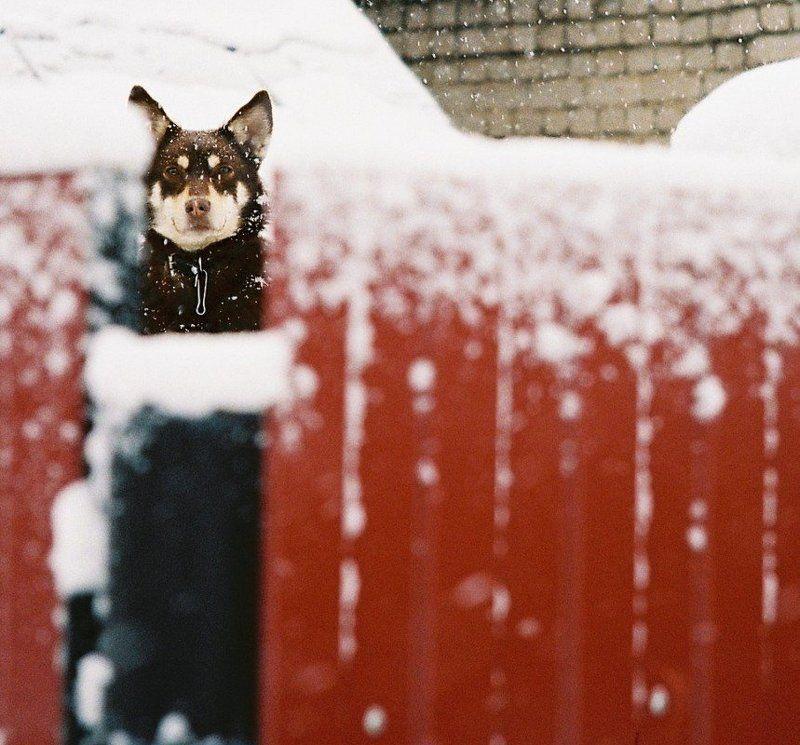жанр, животные, собака Коричневый на красномphoto preview