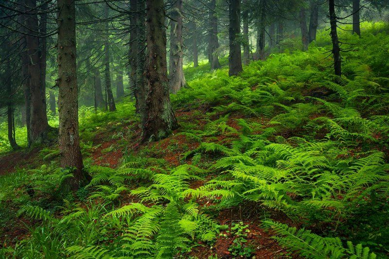 carpathians, mountains, forest, green, trees В лесуphoto preview