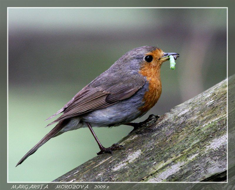 птицы,зарянка Зарянкаphoto preview