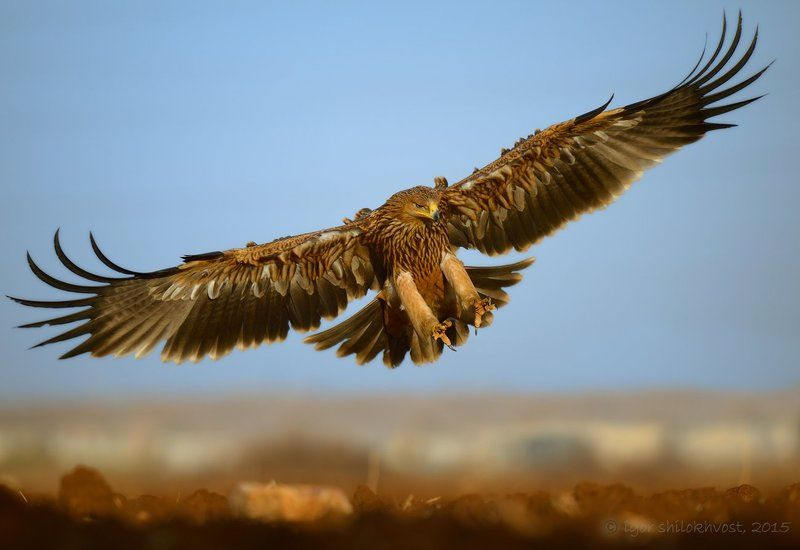 imperial eagle...photo preview