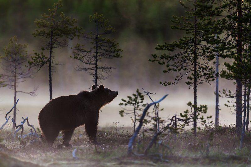 белые ночи, болото, бурый медведь, карелия, лес, туман, фотоохота Белоночные прогулкиphoto preview