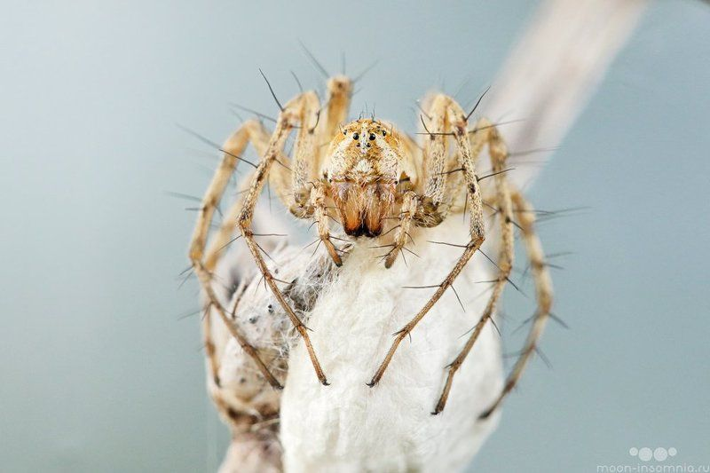 кокон, макро, мать, паук, кривошеев кирилл, паук рысь, макро инсомния, дикий макромир, macro-insomnia Страж коконаphoto preview
