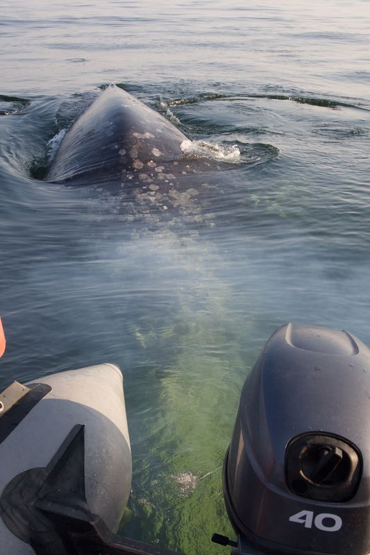 Серый кит, Сахалин Серые киты Сахалинаphoto preview
