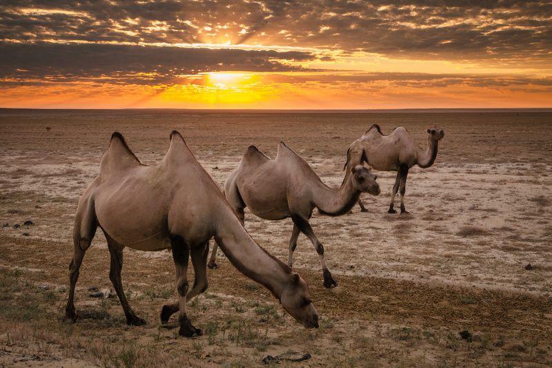 рассвет, солнце, утро, пустыня, верблюды, песок Рассвет в пустынеphoto preview