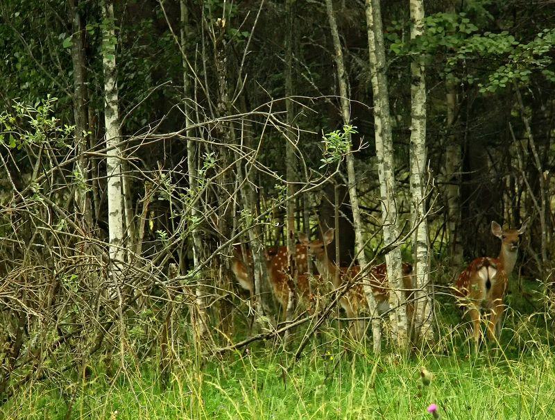 олени, олень, лес, трава, животные, пятнистый Олени в лесуphoto preview