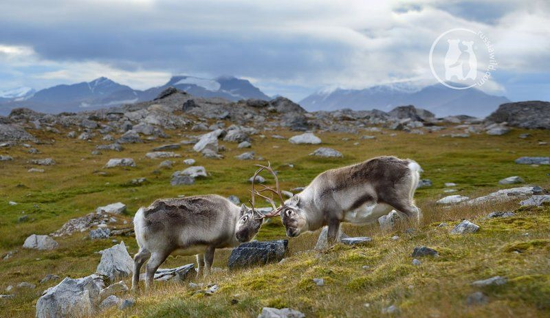 шпицберген, дикий северный олень Бодание диких северных оленейphoto preview