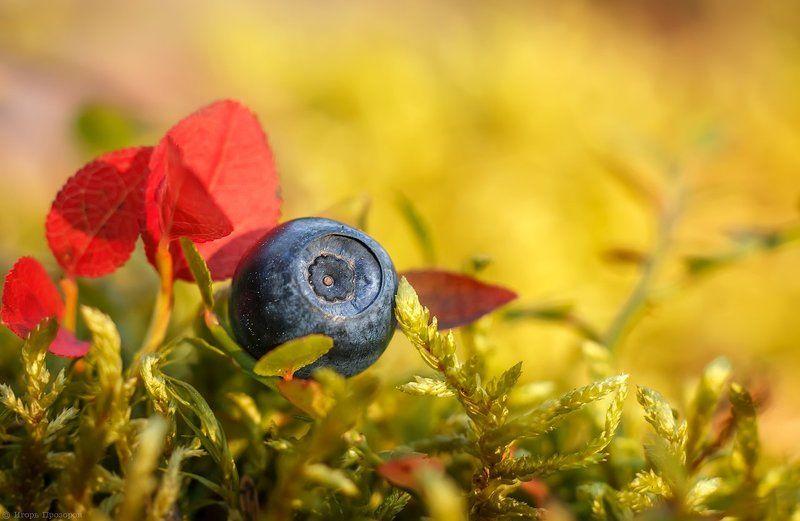 ягоды, макро, черника, кольский полуостров, август, осень Северная черника.photo preview
