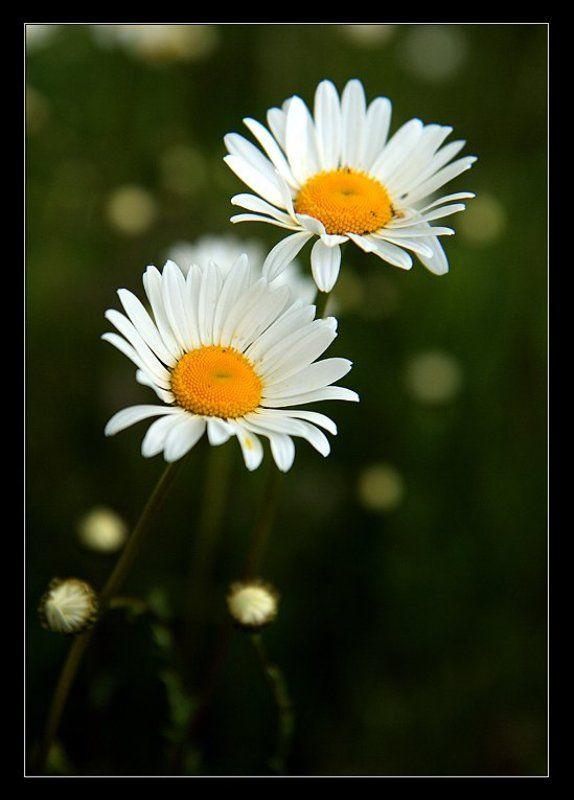 ромашки, цветы, полевые photo preview