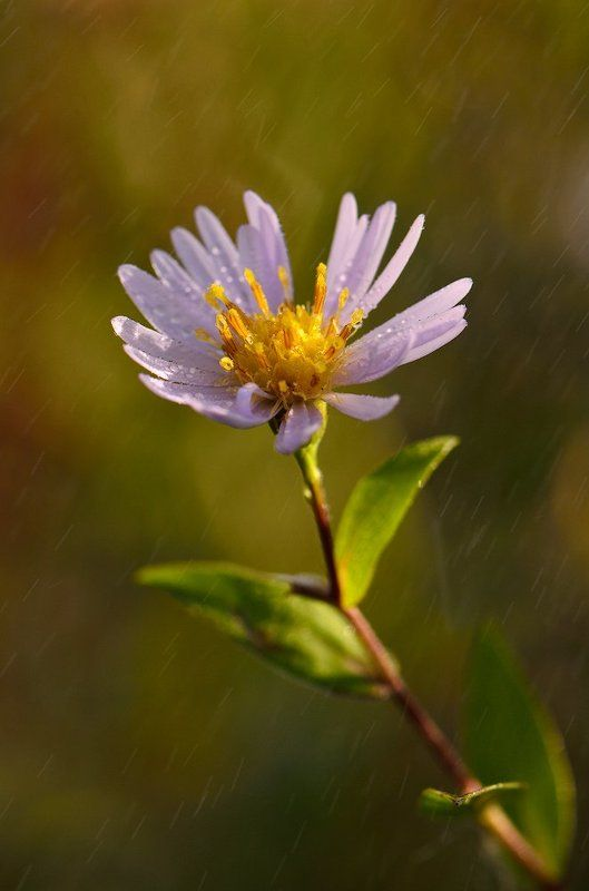 осень, цветок, утро, роса, сентябринка Цветы осениphoto preview
