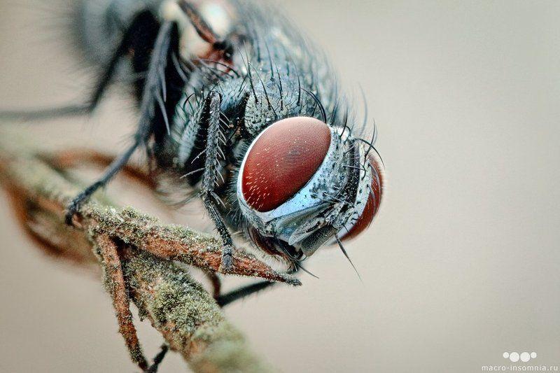 макро, муха, утро, спящая, насекомые, двукрылые, кривошеев кирилл, macro-insomnia Ежемухаphoto preview