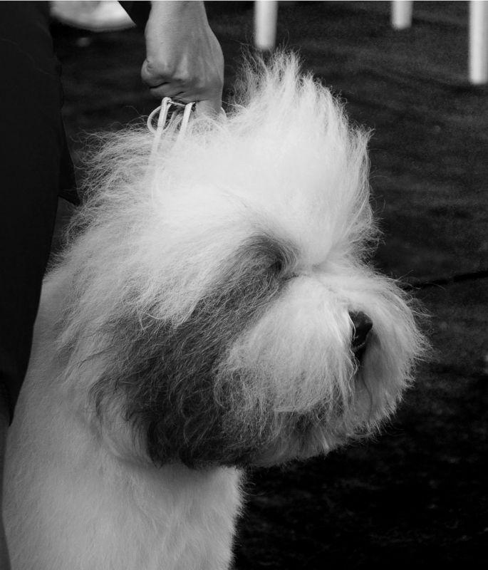 Выставка, Собака, Чб Выставка собакphoto preview