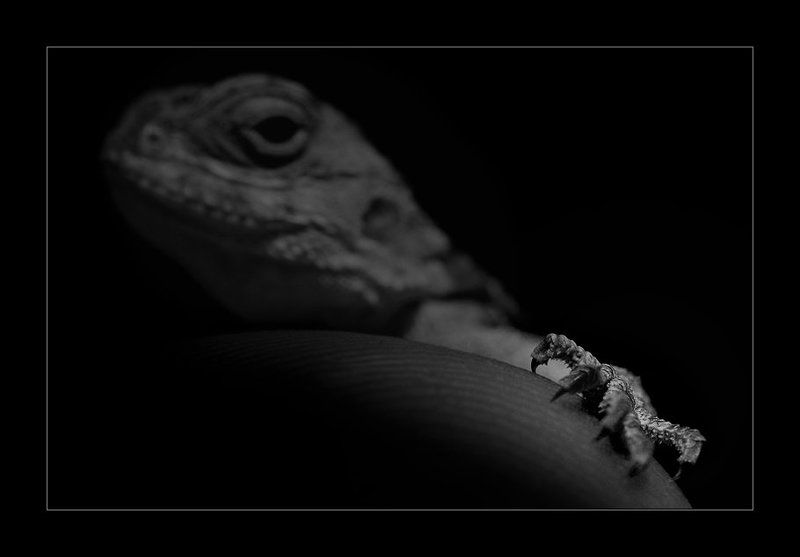 Lizard ...photo preview