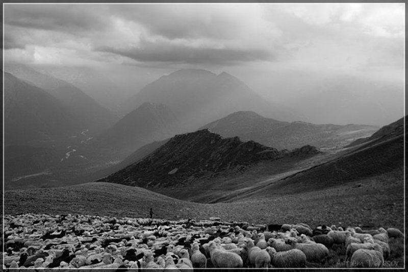 горы, стадо, бараны, овцы, архыз ***photo preview