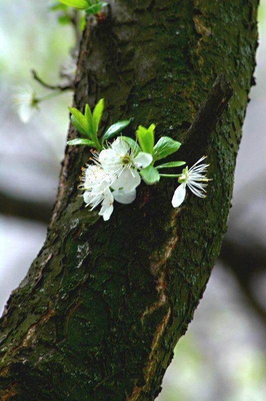 весна, цветок на стволе ЖИТЬ !!photo preview