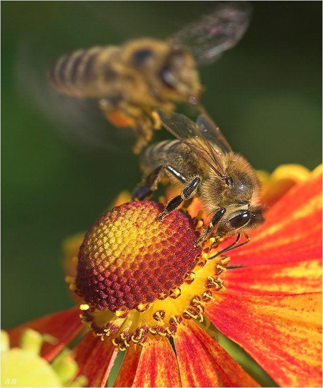 ешь, ананасы, пчела, медоносная, apis, mellifera, apidae Милый, кто же так ананасы режет?!.. 8-)photo preview