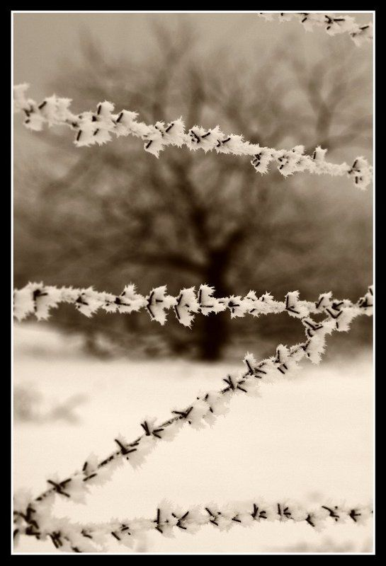 колючая проволока, дуб, зима В неволеphoto preview