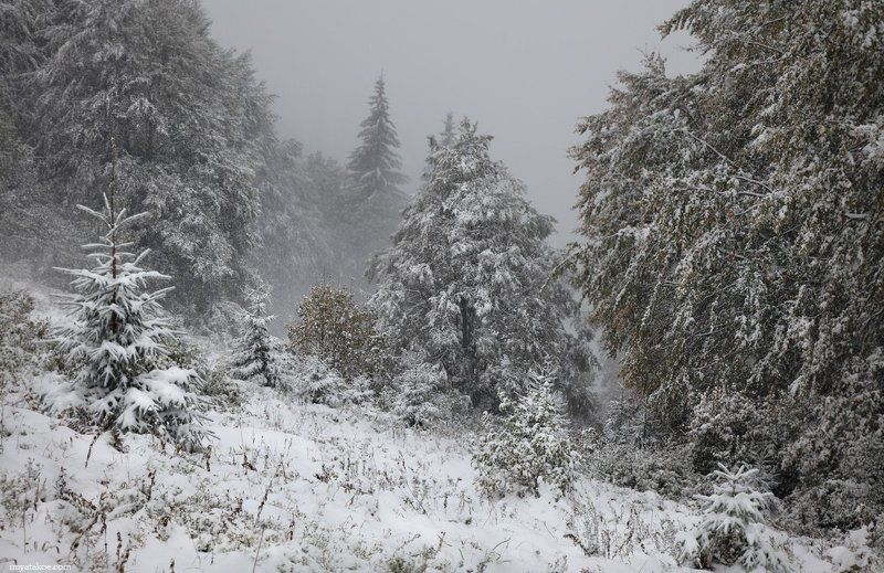 карпаты, снег, елки Однажды в октябре.photo preview