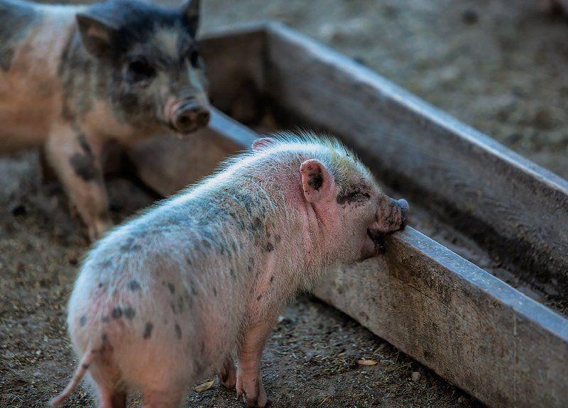Животные зоо поросенок Оптимист и пессимист.photo preview