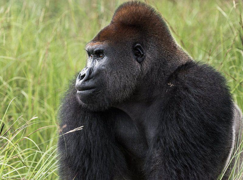 конго ,горилла , африка, Lowland gorillaphoto preview