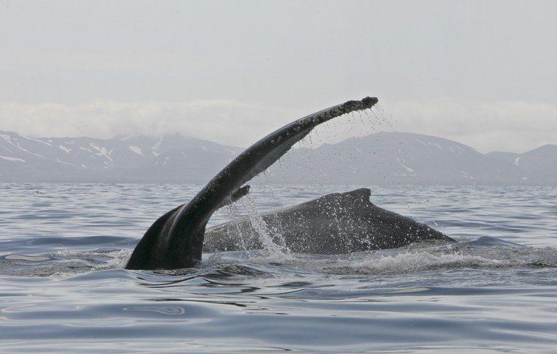 Горбатые китыphoto preview