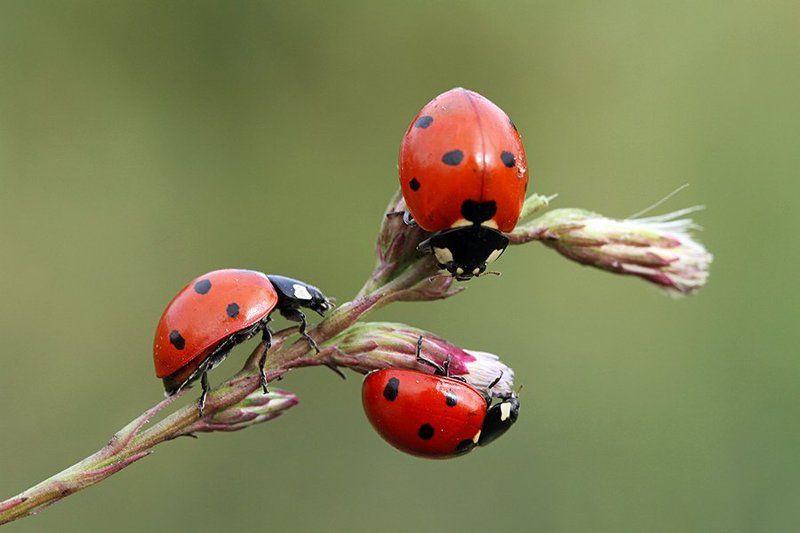 macro nature ladybug canon animals  Coccinella photo preview