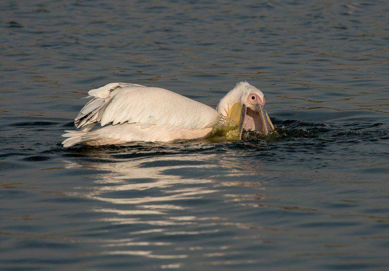 Пеликаны. Израиль Сезон пеликановphoto preview