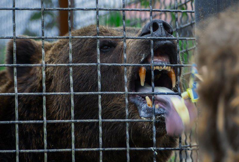 зоопарк, медведь, сгущёнка, голод, лакомка Сгущенкаphoto preview