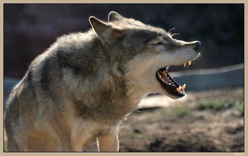 волк, песня Ща спою!photo preview