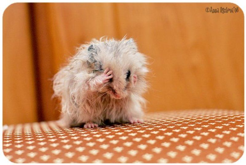 humster,pets обидели мышку...photo preview