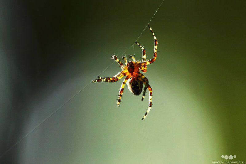 макро, насекомые, паук, на ниточке, паутина, macro-insomnia, На ниточкеphoto preview