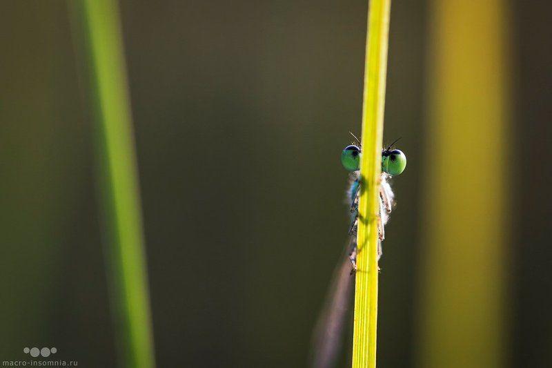 прятки, макро, стрекоза, равнокрылая, макро, насекомые Пряткиphoto preview