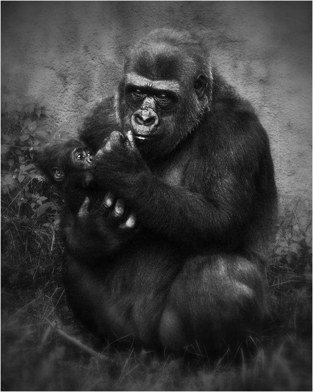 грустно, обезьяны, взгляд, московский зоопарк Все будет хорошо!photo preview