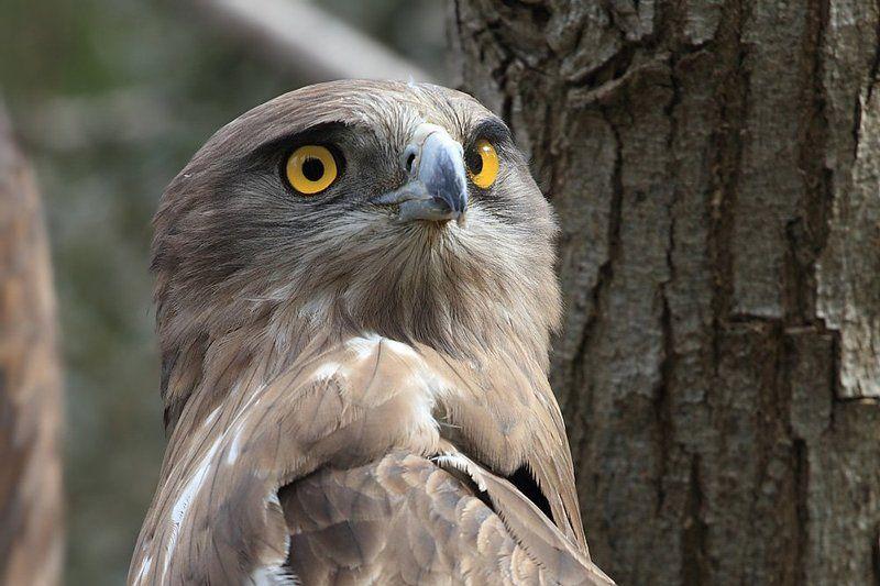 animals,birds,eagle,животные,птицы,орёл   Орлинный взгляд..photo preview