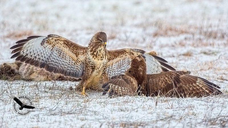 канюк, buteo buteo, common buzzard А так? Убедительно?photo preview