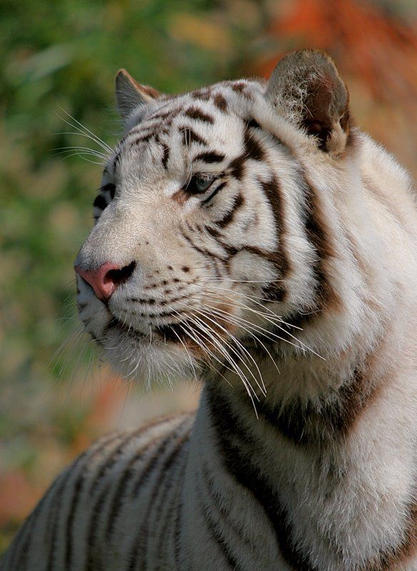 Tigerphoto preview