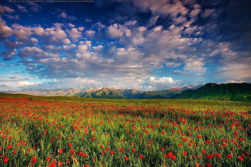 киргизия, бишкек, ала-тоо, горы, май, маки, горные цветы, lazy_vlad, lazyvladphoto, nophotoshop Весенний сонphoto preview