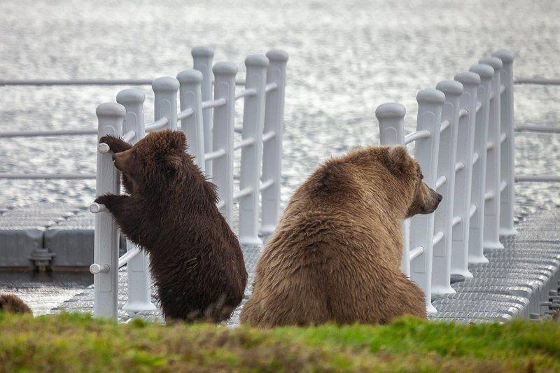 Курильское озеро, Медведи В ожидании парохода...photo preview
