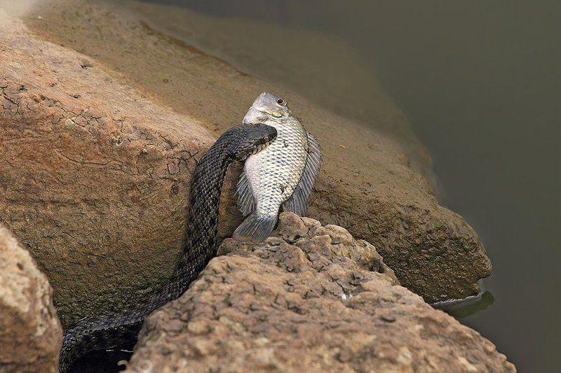 70200, 7d, animals, fish, snake, животные, змеи, рыба, уж Уж с добычейphoto preview