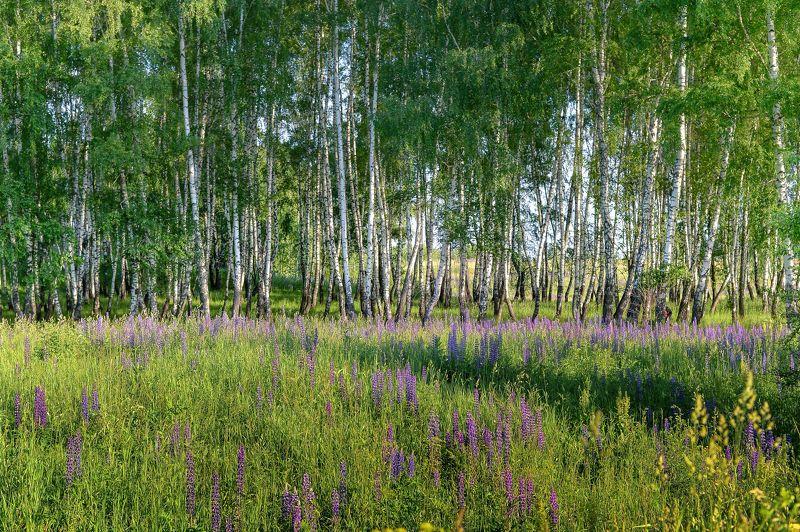 Березовая роща, Лето, Пейзаж, Россия, Русские берёзы, Цветущий луг В этой роще берёзовойphoto preview