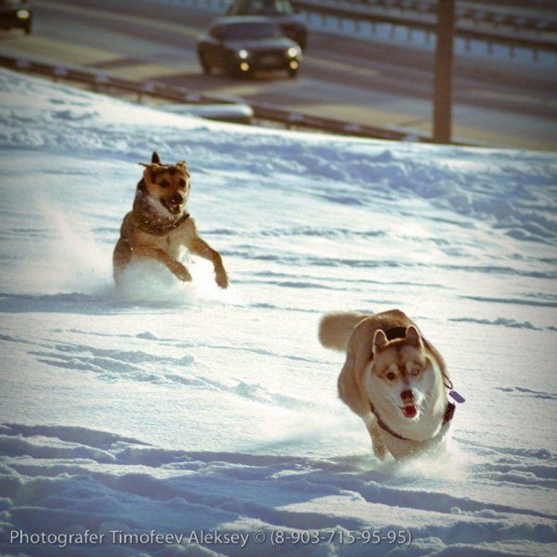 собака, снег Погоняphoto preview