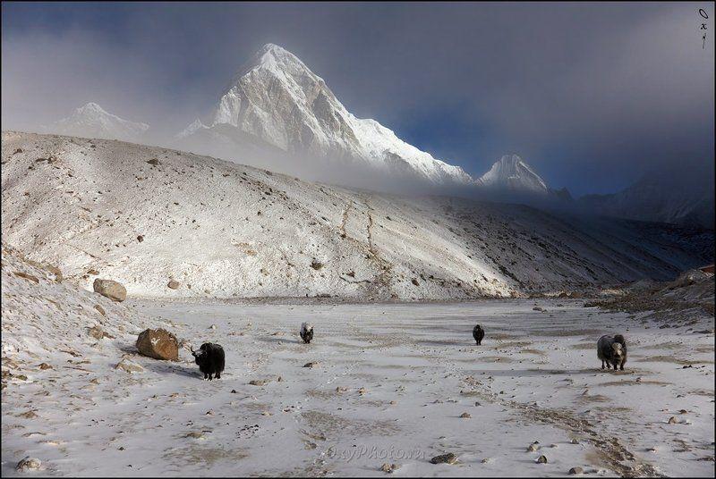 непал, гималаи, трек к бл эвереста, nepal, himalaya, trek to bc everest, пумо ри, pumo ri, кала паттар, kala patthar Утро доброе, горы, яки!..photo preview