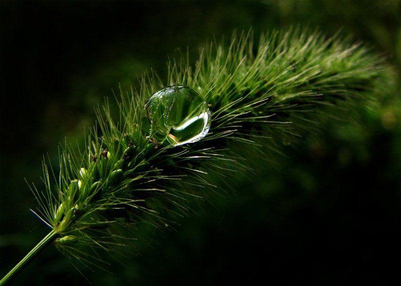 колосок, роса, весна утренний душphoto preview
