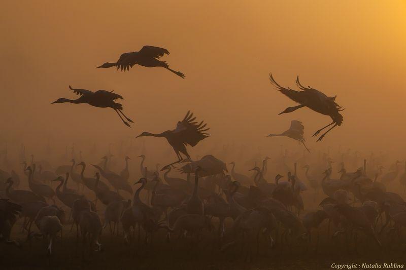 Журавли, Природа, Птицы, Рассвет, Туман Журавушки на рассвете...photo preview