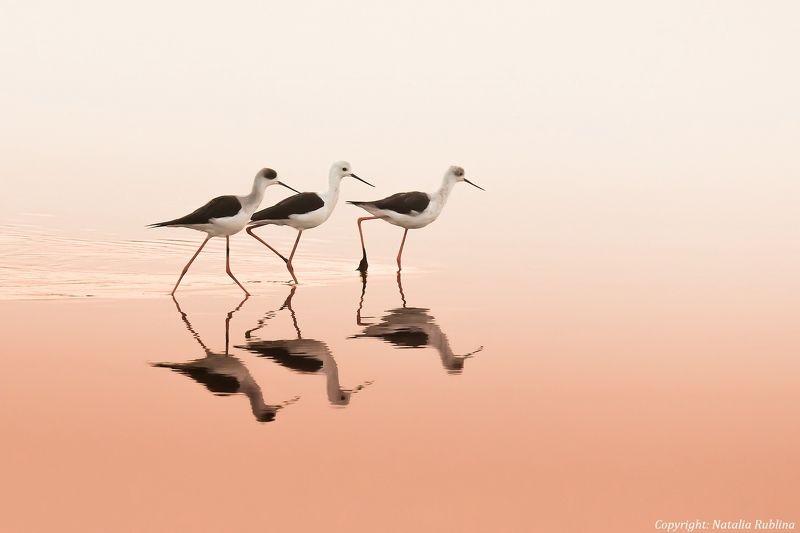 Животные, Природа, Птицы, Рассвет, Трио, Ходулочник, Ходулочники Tрио ...photo preview