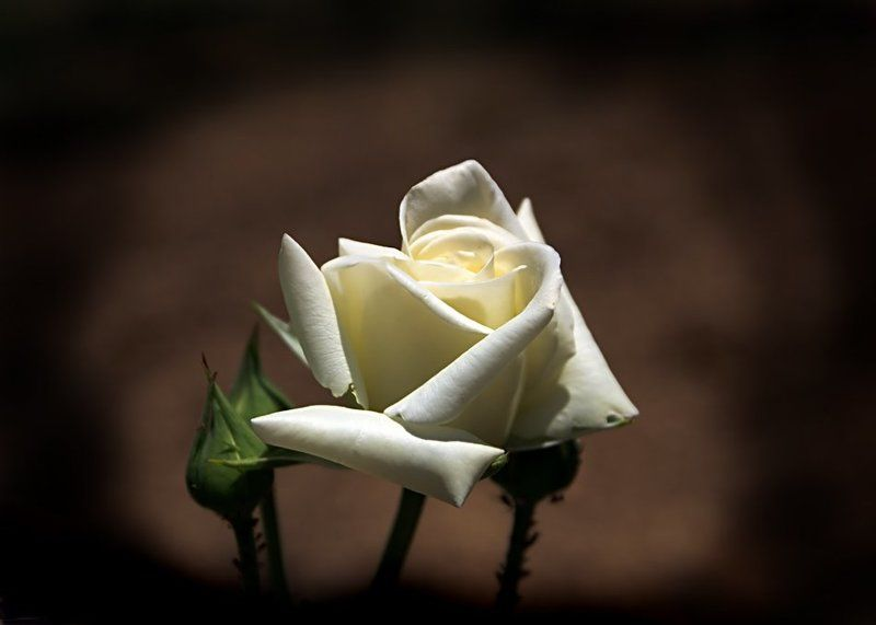 белая роза Невинностьphoto preview