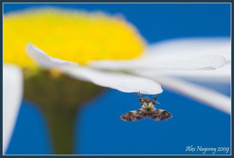 макро, фото, двукрылые, ромашка, лето, цветок Летоphoto preview