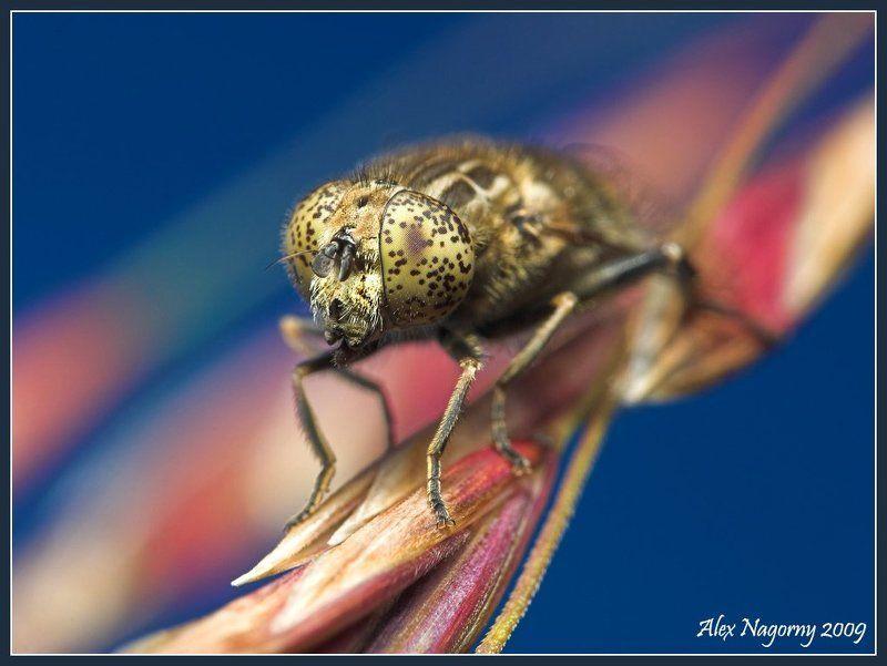 макро, фото, двукрылые, лето, ильница , eristalinus sepulchralis Конопатаяphoto preview
