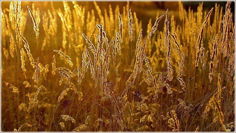 vvs, трава, осень, золото Золотой запасphoto preview