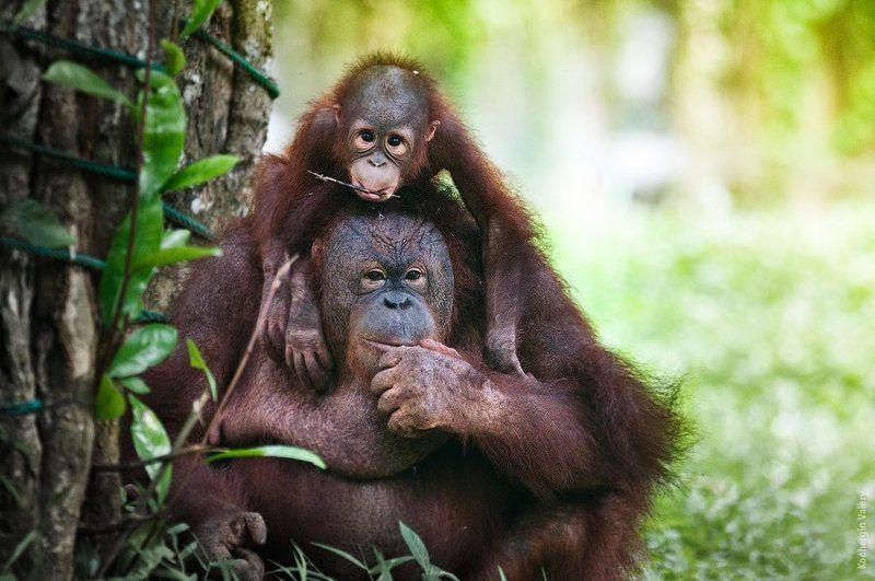 орангутанг, азия, малайзия, обезьяна Орангутангиphoto preview