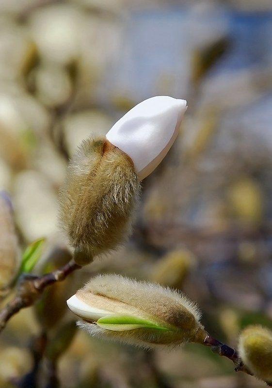 весна,цветы,магнолии О, аромат магнолий...photo preview